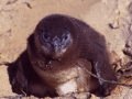 South Africa: A few hours old Cape-Pinguin at Boulder Bay
