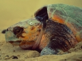 Giant Galapagos-turtle at the beach of the equadorian islands