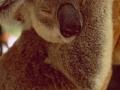 Australia: Koala-Bear Mother in a tree