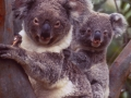 Australia: Koala-Bear Mother and Baby in a tree