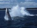 Fraser Island: Walbeobachtung in der Hervey Bay