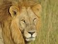 Auf Pirschfahrt: Löwe in Botswana gesichtet