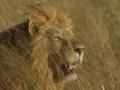 Löwe schleicht sich durchs hohe Grass