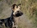 Botswana: Wilddog