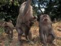 EIne Horde Paviane. A herd of Pavian-Monkeys