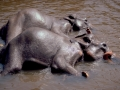 Sri Lanka: Indian Elefants taking a bath in the river at Pinawela Reserve