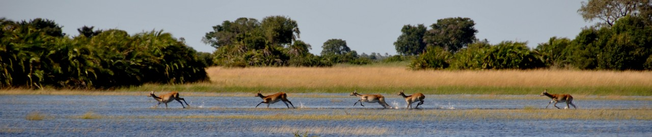Wildlife im Okavango-Delta: Antilopen in der Savannen-Insel in der Wildnis der Okavango-Sümpfe. Antilopes walks through the lake in the Okavango-Delta swamps