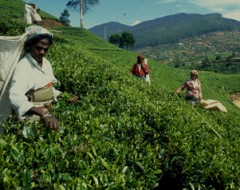 Teeanbaugebiet Nurya Elya im Hochland Sri Lankas. Tamil women labours working in the Tea Plants of Sri Lanka.