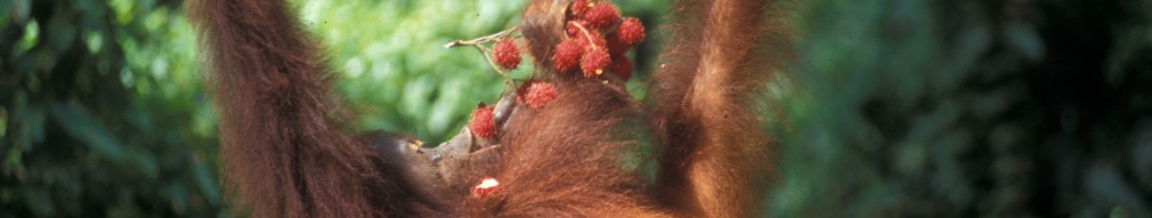 Headerbild Orang Utan eating fruits in Sarawak, Borneo, Malaysia