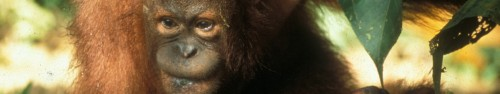 Headerbild Save the Orang Utans in Borneo Bildref.: MY_OrangUtanBorneo229.jpg