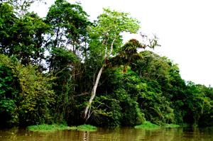 Amazonas Regenwald. Auf der MS Bremen Cruise.