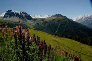 Alpenflora im Val d'Annivers im Wallis
