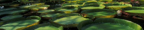Headerbild Mauritius Bot. Garden Pampelmousse