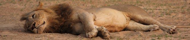 Headerbild Zambia: Königin der Faulenzer. Eine Löwin träge im Sand.
