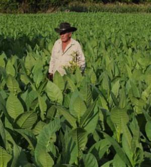 Kubanische Tabakfarmer in Vinales 6406