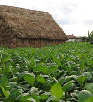 Kubanische Tabakfarmer in Vinales