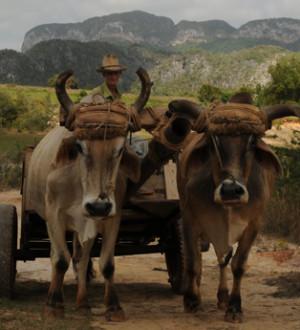 Kuba: Bauer  mit Ochsengespann in Vinales. Cuban tabacoo farmer with bulls in Vinales.