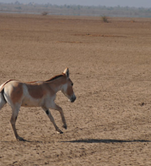 Wild Ass; Pferderasse; Galopp; Gujarat's Nationalpark; Little Ranch of Kutch | Wild Ass Horse; Gujarats; Little Ranch of Kutch; Gujarat