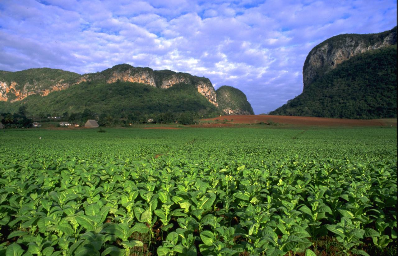 Kuba: Tabakplantagen in Vinales/Pinar del Rio