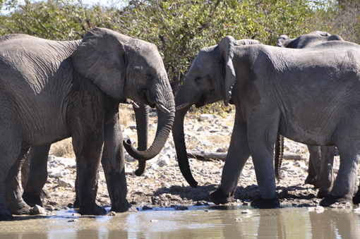 Namibia: Elefanten an der Tränke im Etosha-Nationalpark. Elephants at the Halali waterhole in Etosha Pan.